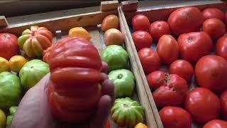 Мои помидоры дозариваются дома