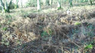 Springer Spaniels Workig At A Open Retriever Open Field Trial