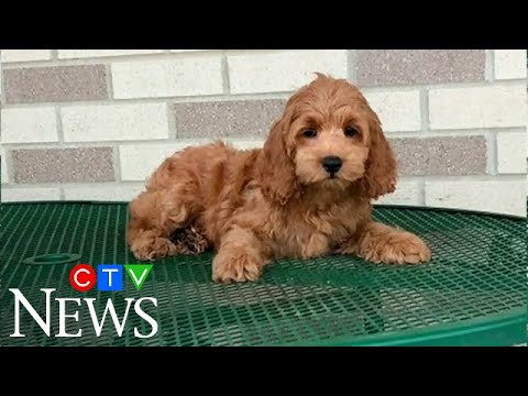 Ontario man loses over $3,000 in online puppy scam