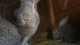 «Сельский порядок». Секреты разведения кроликов (27.05.2015)(Какого ухода требуют за собой кролики, как правильно их разводить и для кого этот вид животноводства подойд..., 2015-05-28T10:52:58.000Z)