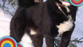 Моя собака Руско-Европейская Лайка?