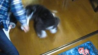 実家で飼っている1歳のワンコ(ミニチュアシュナウザー)がタオルをくわ...