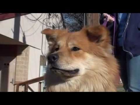Pet of the Week: Sandy [collie-chow mix] - YouTube