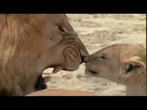Lioness Strike & Parenting   Lions: Spy in the Den   BBC