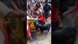 Girl Trying To Save Goat From Sacrifice During Dashain