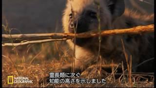 【ナショジオ】「ハイエナ・クイーン」より