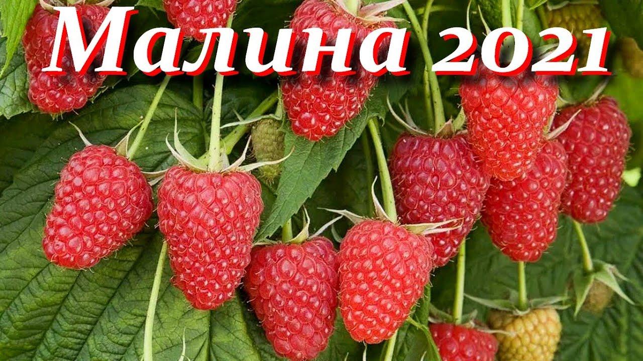 Малина 2021  Урожай радует, хоть и не всё хорошо