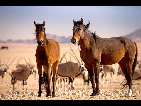 Лошади пустыни Намиб. Документальный фильм Дикий запад Африки Nat Geo WILD