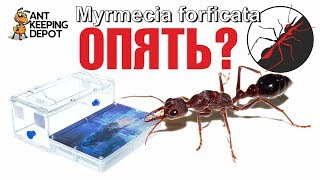 Myrmecia forficata. ПЕРЕСАДКА СМЕРТЕЛЬНО ОПАСНОГО МУРАВЬЯ БУЛЬДОГА 2