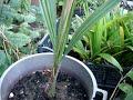 Юбея чилийская,(Jubaea chilensis)