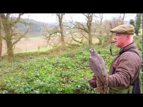 Hunting Pheasant With Goshawk's In Ireland