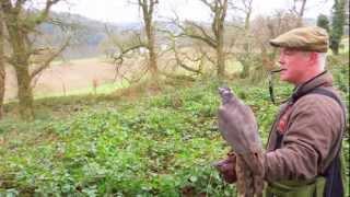 Hunting Pheasant with Goshawk