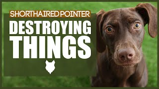 How To Stop Your GERMAN SHORTHAIRED POINTER Destroying Things