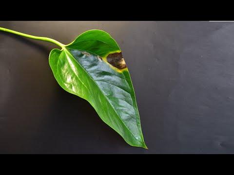 Дефекты и болезни листьев антуриума. Вредители антуриума