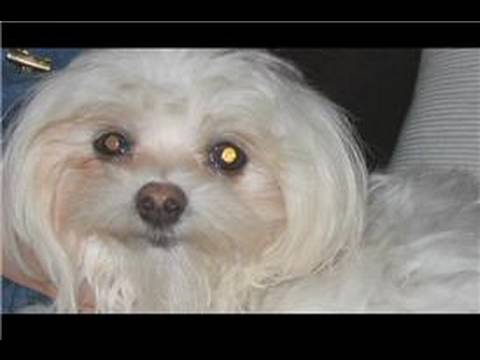 Dog Breeds & Dog Training : How to Train a Shih Tzu