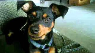 Miniature Pinscher, Smart Puppy Barking