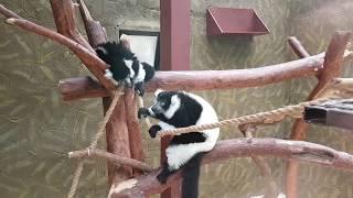 """Милейшие животные - лемуры Вари и рыжие Вари из Парка птиц """"Воробьи"""". Немножко скример"""