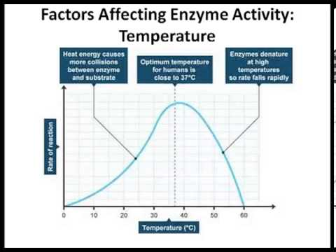 affect of temp on enzyme activity In addition to temperature and ph there are other factors, such as ionic strength, which can affect the enzymatic reaction each of these physical and chemical parameters must be considered and optimized in order for an enzymatic reaction to be accurate and reproducible.