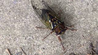 This is a male cicada (Lyristes japonicus, family Cicadidae). He wa...