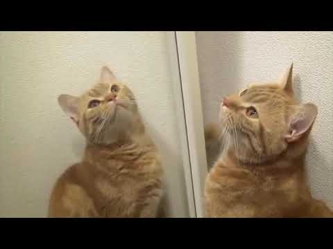 Happy Cat Mirror Playing