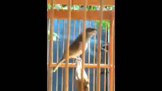 Burung cucak kombo lumayan receh