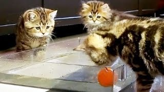 Funny  Kittens playing Water polo