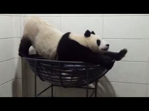 Giant Panda Finds Ways to Entertain Himself Despite Being Alone