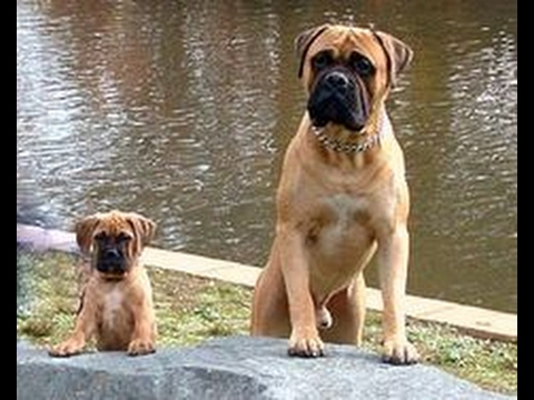 Cute English Bullmastiff Puppies 2017 Bullmastiff Youtube