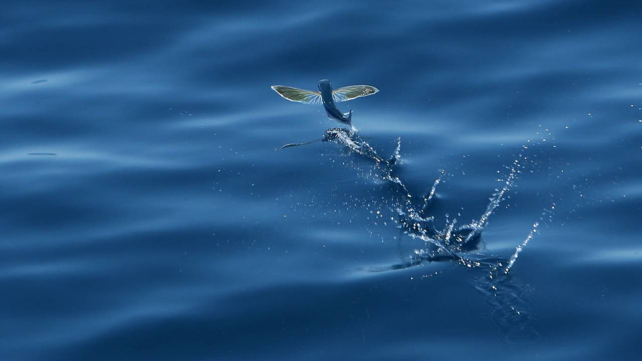 Flying fish in the philippines youtube for Where do flying fish live