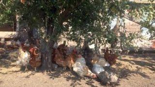 Органическое птицеводство. Фермерское хозяйство