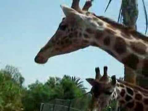 hqdefault - Girafe