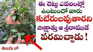 ఈ చెట్టు ఎవరింట్లో ఉంటుందో వారు కుబేరులే || Amazing Health facts of Lawsonia Inermis