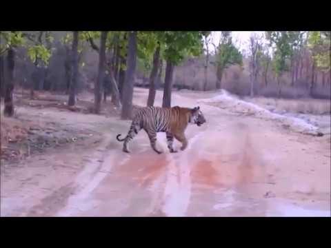 Tiger versus Crocodile in Tiger Reserve Pilibhit.