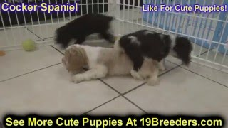 Cocker Spaniel, Puppies, For, Sale, In, Tampa, Florida,fl,st Petersburg,clearwater,
