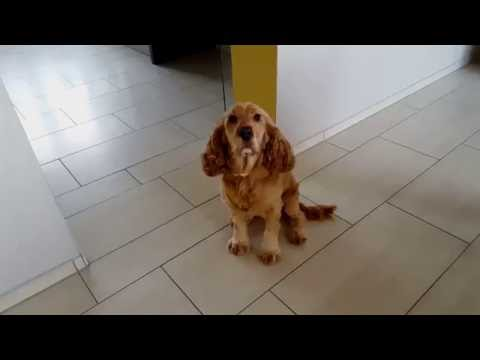 Cocker Spaniel - Lunch time!