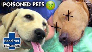 POISONED PETS!! ☠  | Compilation | Bondi Vet