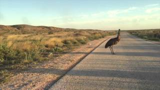 Emu Dance - Cape Range National Park - Western Australia - (Slow Motion)