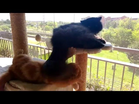 exotic shorthair and persian cat funny