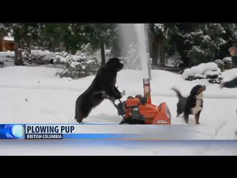 Meet the snow-blowing dog