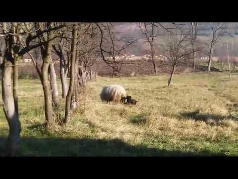Pas i ovca sex