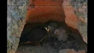 Falco della Regina (Falco eleonorae) - Eleonora