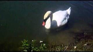 Красивый лебедь!!!