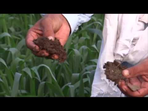 Organic Wheat by Using Bio Gas Plant Organic Fertilizer for growing Crops 17 Feb 2013 Pakistan