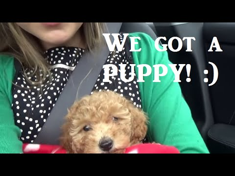Getting a PUPPY! Our 8 week old toy poodle.