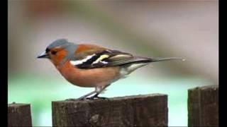 common chaffinch (Fringilla coelebs) sound / صوت الصلنج