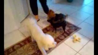Bichon Frise, Yorkie (yorkshire Terrier) & Prague Ratter (prazsky Krysarík) Comparison