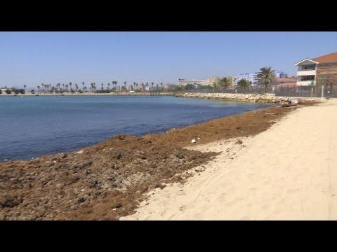 Brown algae threat to marine flora in the bay