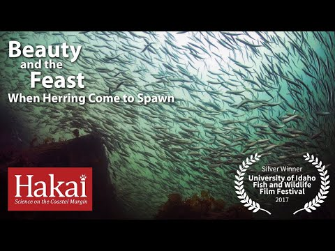 Beauty and the Feast: When Herring Come to Spawn