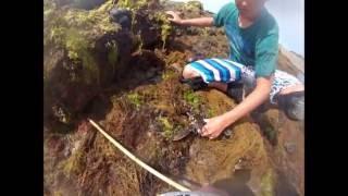 chausey homards pêche à pied coquilles st jacques tourteaux congres