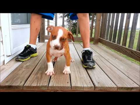 XXL RED NOSE PITBULL PUPPY FOR SALE - RAISING CAIN KENNELS TEXAS